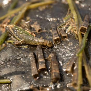 Chrostík (Trichoptera), larva