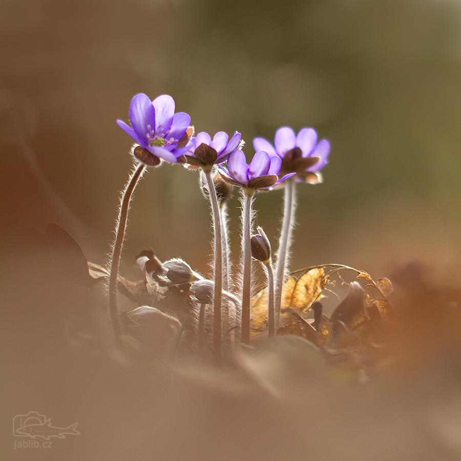 Jaterník podléška (Hepatica nobilis)