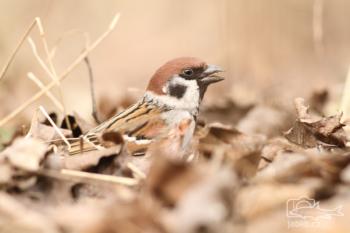 Vrabec polní (Passer montanus)