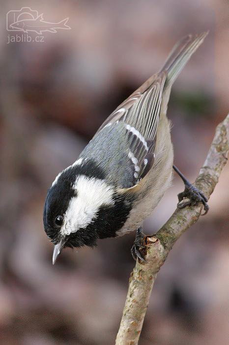 Sýkora uhelníček (Parus ater)