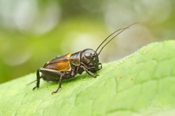 Cvrček polní (Gryllus campestris)