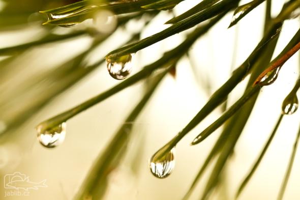 Borovice po dešti