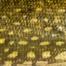 Štika obecná (Esox lucius)