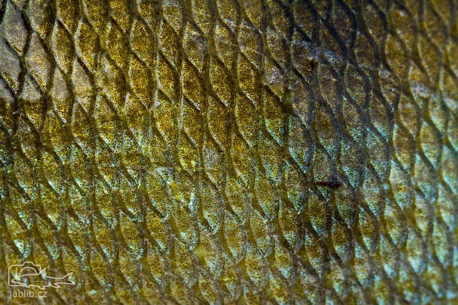Okoun říční (Perca fluviatilis)