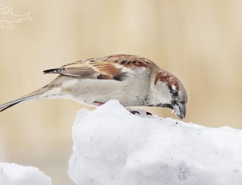 Vrabec domácí – focení na sněhu