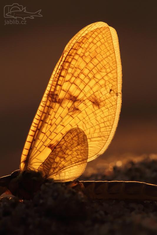 Jepice (Ephemeroptera)