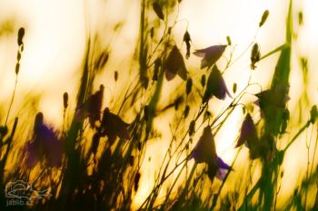 Zvonek okrouhlolistý (Campanula rotundifolia)