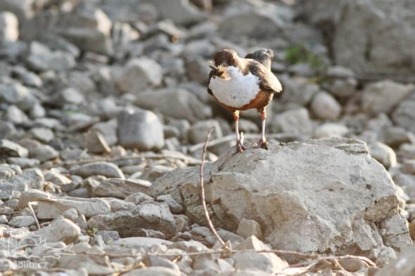 S naplněným zobákem odlétal skorec na hnízdo aby nakrmil mladé.