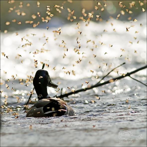 Chrostíci (Trichoptera) Rojení v protisvětle