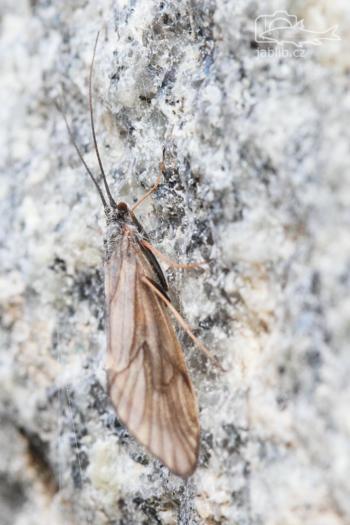 Dospělé imago chrostíka (Trichoptera)