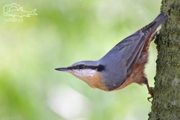Brhlík lesní Brhlík lesní (Sitta europaea)