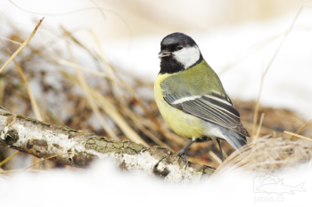 Sýkora koňadra (Parus major)